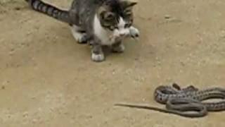 Video De Gato Peleando Con Serpiente Video.flv