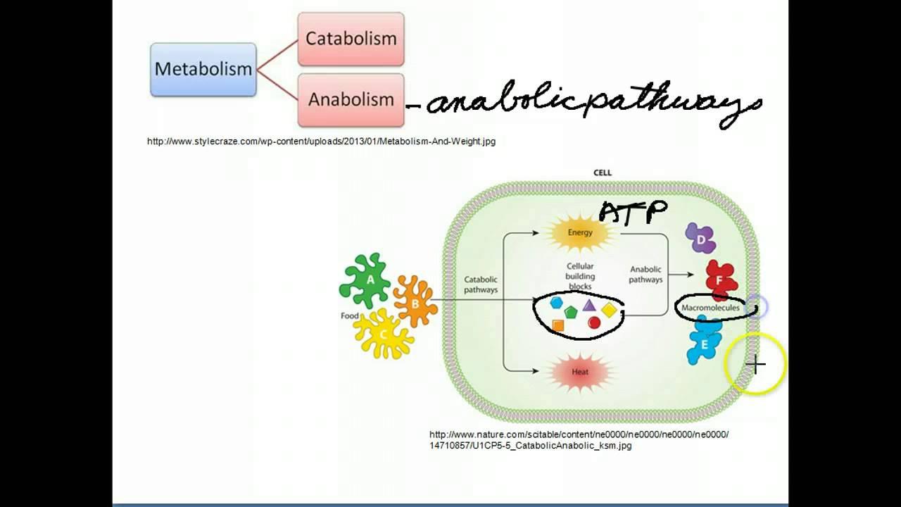 catabolic vs anabolic operons