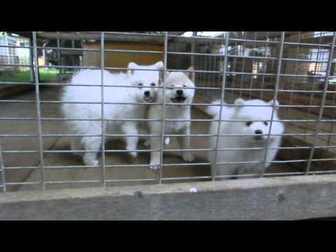 犬舎の仔犬たち サモエド 白柴 日本スピッツ