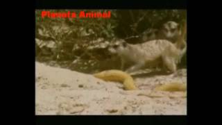 VIDA SELVAGEM: CONFRONTO ANIMAL