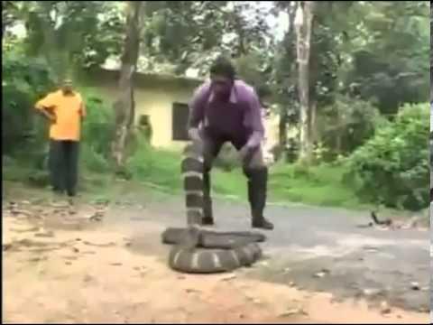 suong.vn Đùa nghịch với rắn hổ mang siêu khủng