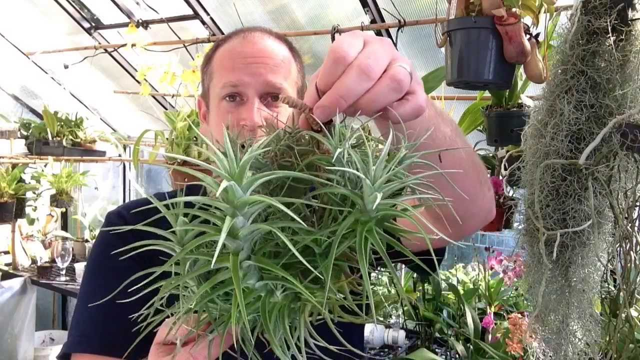 Easy to grow air plants my air plant tillandsia for Small easy to grow plants