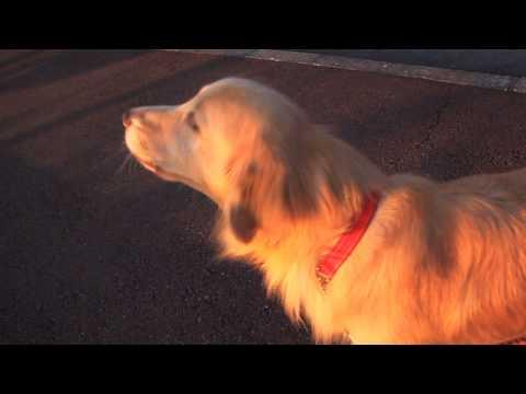 image Un chien imite une sirène