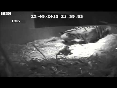 CCTV Amazing Footage ~ Tiger Birth Caught On 'Cub Cam' London Zoo