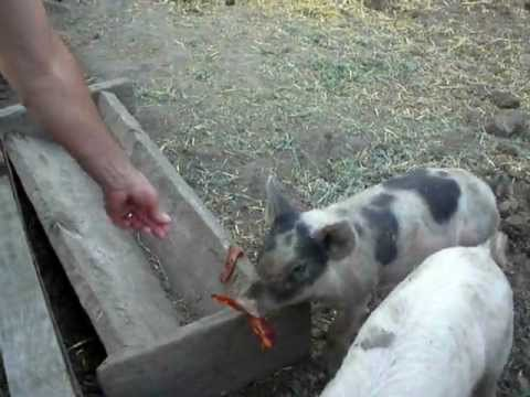 Feeding Pigs Bacon Youtube
