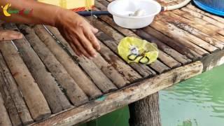 QUÁ ĐÃ: Câu cá ngay tại hiên nhà ở Phú Quốc - Giật liên tục như câu rô đồng