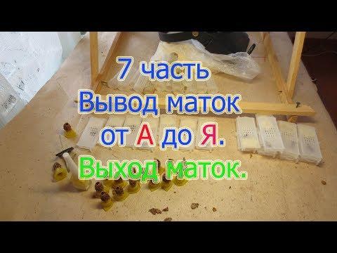7 часть  Вывод маток от А до Я  Выход маток из маточников, мечение и посадка в клеточки
