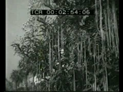 Panorama - April Fool's Day Hoax - Spaghetti Harvest - 1st April 1957