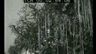 1957 Spaghetti Harvest