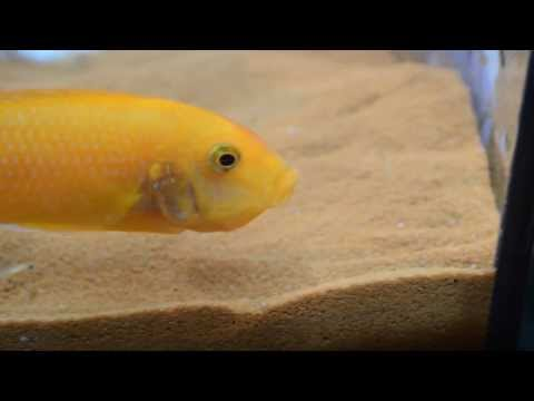 Red Zebra Cichlid Fry Release
