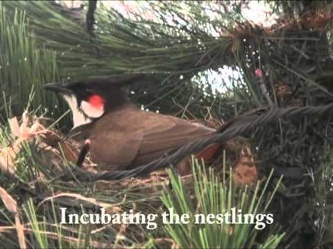 Red Whiskered Bulbul On A Xmas Tree - A Short Film