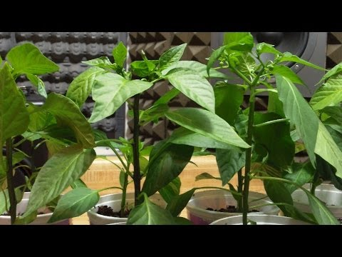 Indoor Biochar Finale: Pepper & Tomato Results!