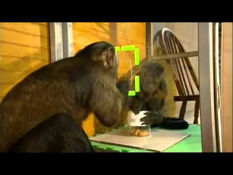 Monkey cooperation and fairness   YouTube2