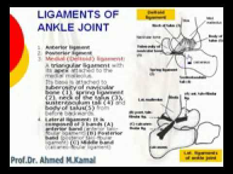151  L Limb   Ligaments of ankle joint Azharmedicine com