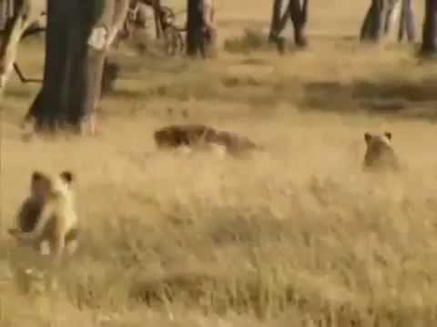 Tập tính thử bậc của sư tử