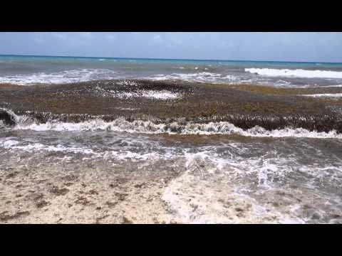 Sargassum seaweed, Cancun July 2015 - Video 2