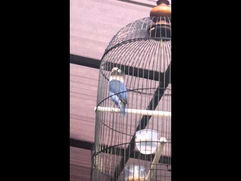 Lovebird Juara Siti Jenar durasi 40 detik