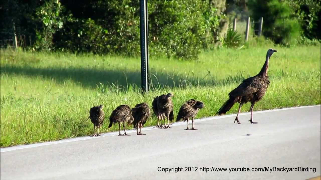 how to call a wild turkey youtube