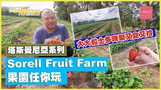 大大粒士多啤梨又食又拎! Sorell Fruit Farm 果園任你玩!