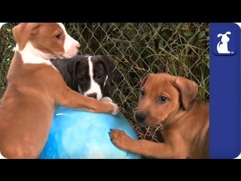 70 Seconds of Pit Bull Puppies Playing with a Ball, The puppies from our series The Litter wrestle a ball! Subscribe to The Pet Collective: http://bit.ly/tpcsub Facebook: http://www.facebook.com/thepetcollecti...