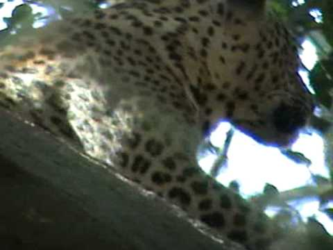 Leopard at Bannerghatta.