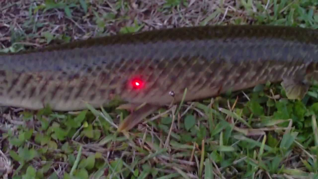 Mayan and 31 quot spotted gar video longnose gar picture youtube