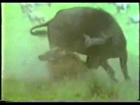 Video THẾ GIỚI ĐỘNG VẬT Trâu rừng đánh sư tử video  Du lich 24h