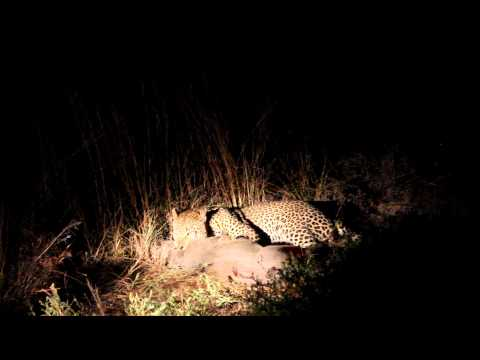 Male Leopard Killing a Warthog