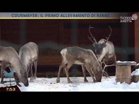 Courmayeur: il primo allevamento di renne in Italia