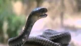 Kobranın Zehrini Fırlatışı - zehir atan yılan