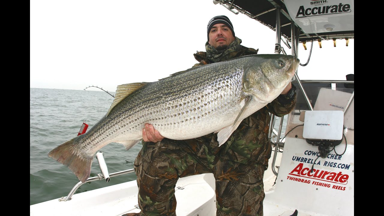 50 pound striper swims away team old school youtube for Striper fishing chesapeake bay