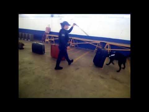 Entrenan perros detectores de drogas y armas en Puebla