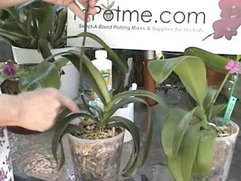 how to make phalaenopsis mixture