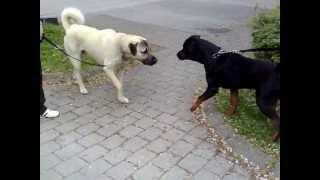 Rottweiler Vs. KangalDangerous Meeting-