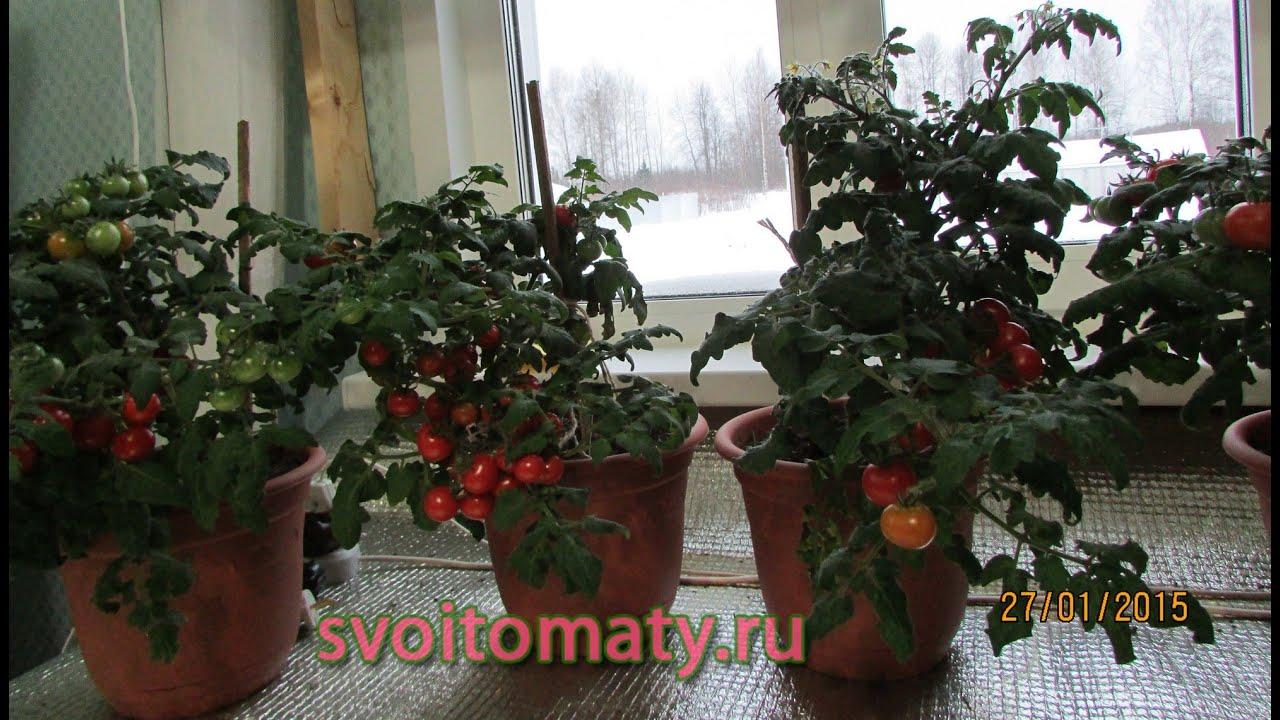 Комнатные томаты выращивание томатов зимой - irantube irania.