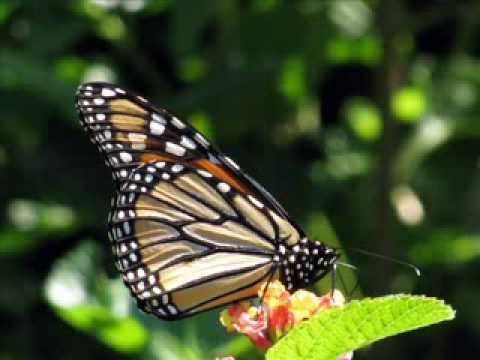 Magnificent Monarch Migration