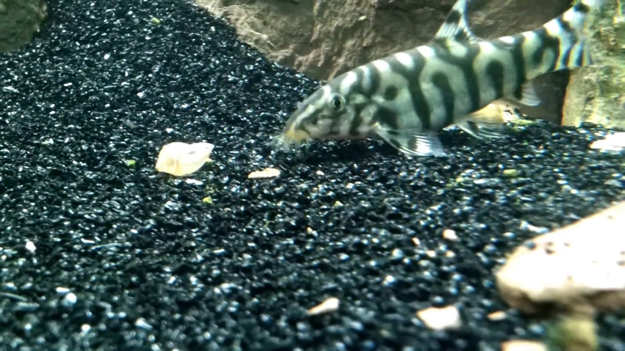Aquarium pond snail gets eaten by a yoyo loach youtube for Garden pond snails