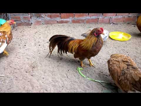 ga tre tan chau (citythaibinh - 0983244680 ) Qua nhà con gà Spring keke