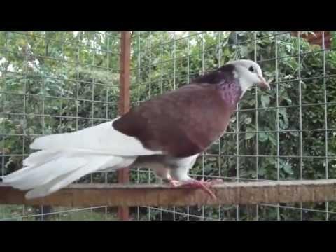 Gökyüzünde Yaptığı Şovlar İle Herkesi Kendine Hayran Bırakan Dönek Güvercinleri