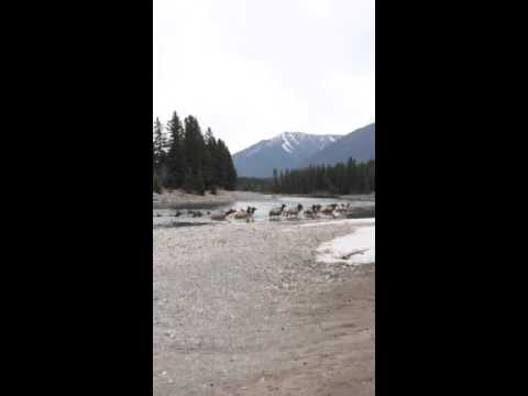 Herd of Elk swimming