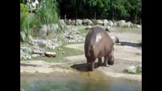Hipopotamo se Tira un Pedo
