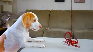 Dog vs. Toy Scorpion