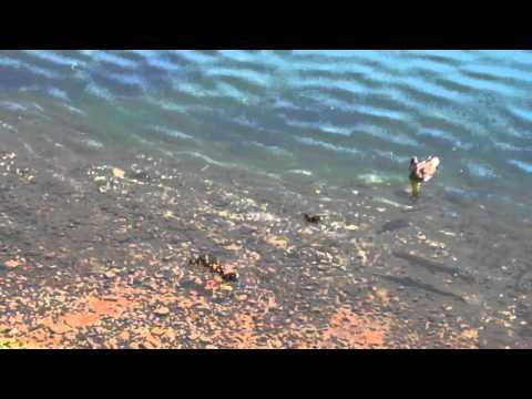 游在湖面上的小鴨子竟然被魚吃了...