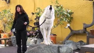 Serigala ini besar sekali ..