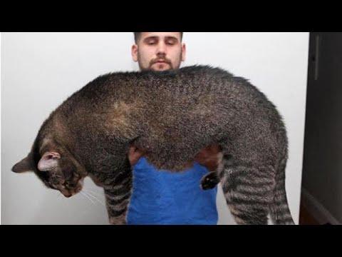 Cinder, ecco il gatto obeso costretto ad andare in palestra: i suoi allenamenti conquistano il web