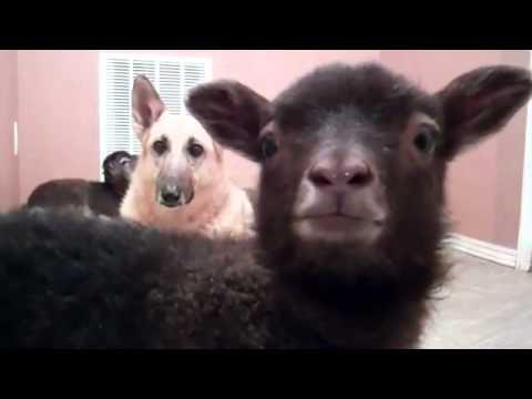 Lamb saying YEAH!
