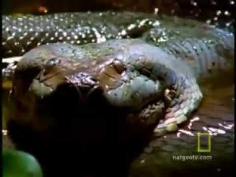 Cận cảnh rắn khổng lồ săn mồi - Bee - Khoa học & Đời sống Online.flv