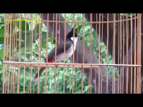 Chim Chào Mào Hót - Chào mào Đẹp Hót Cực Hay