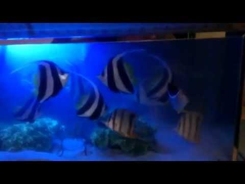 Ikan laut hias layaran kuning