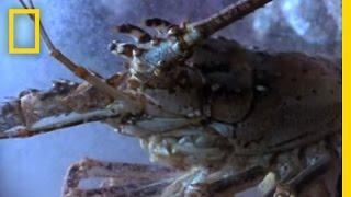 Bizarre Birth: Baby Lobsters